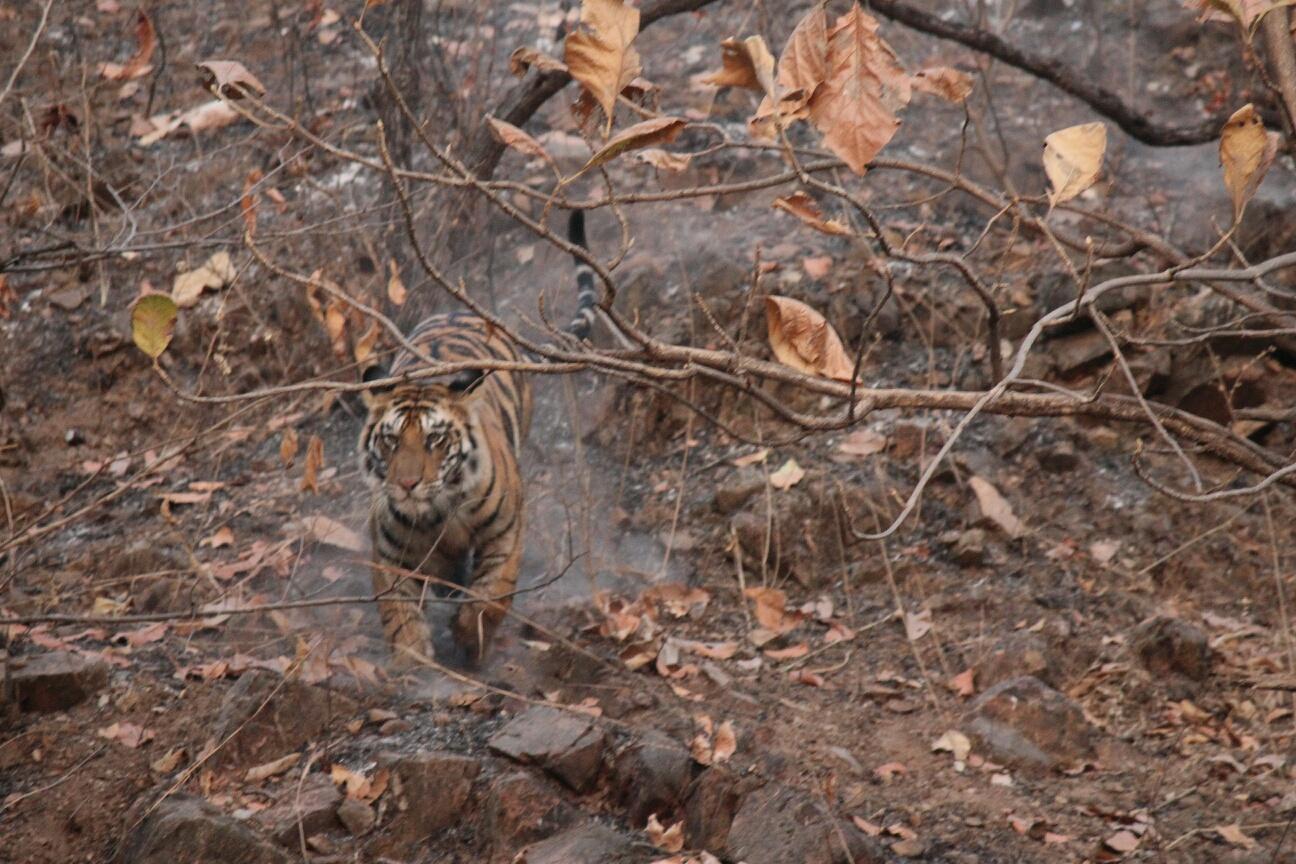 Tiger Preserve 3